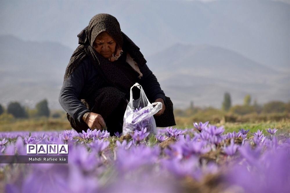 وزیر جهاد کشاورزی: خرید حمایتی زعفران از هفته آینده آغاز می شود