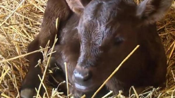 یک گاو در آمریکا 3 قلو زایید!
